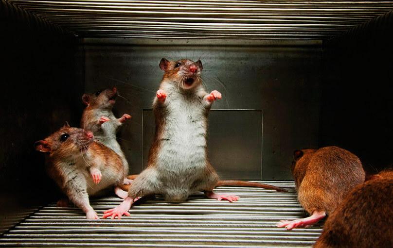 Отпугиватель крыс, мышей какой лучше